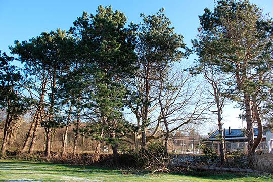 Forsyningen planter nye træer på Havnevej
